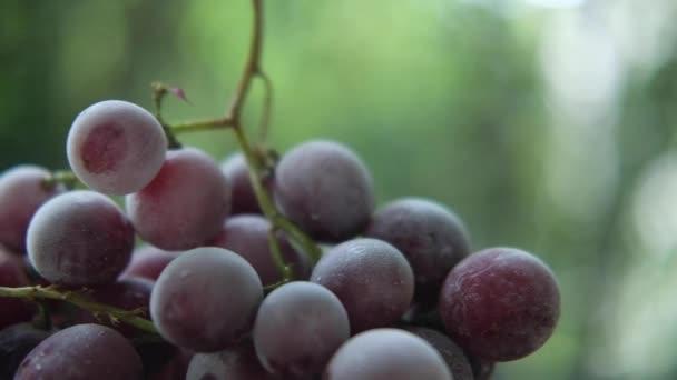 Egyél vörös fagyasztott szőlőt. Panning és Lassú mozgás lövés