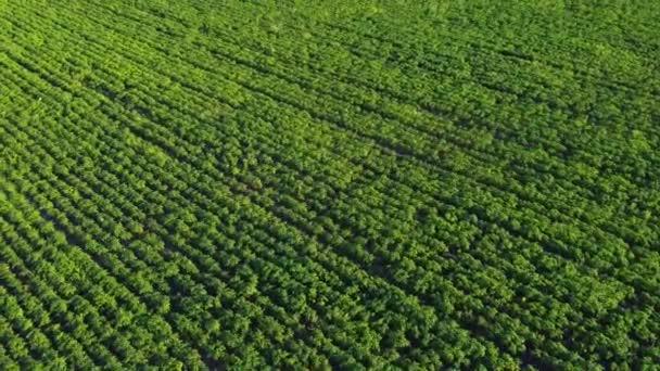 Letecký pohled na zelené obrovské pole kukuřice