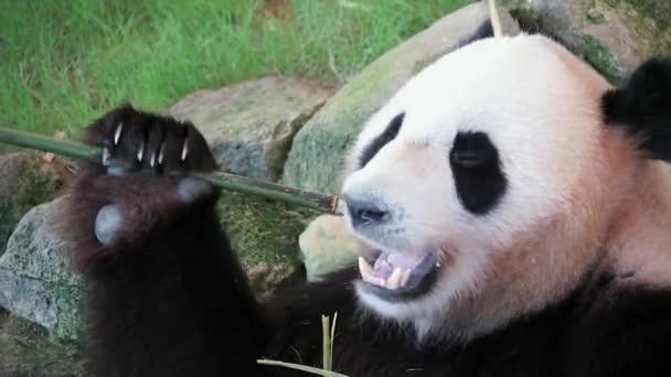 Closeup giant panda eating bamboo
