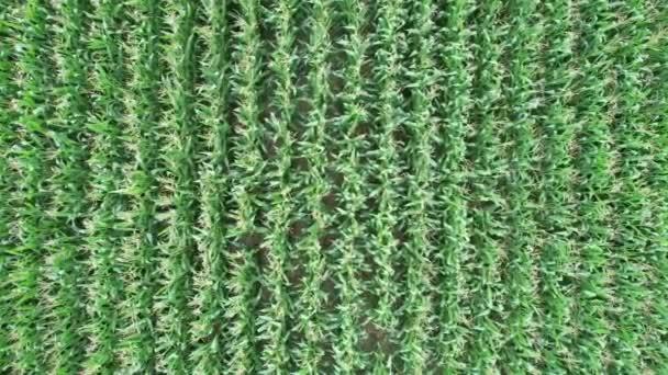 Pohled shora z malé výšky na obilí kymácející se ve větru. Střílení dronů.