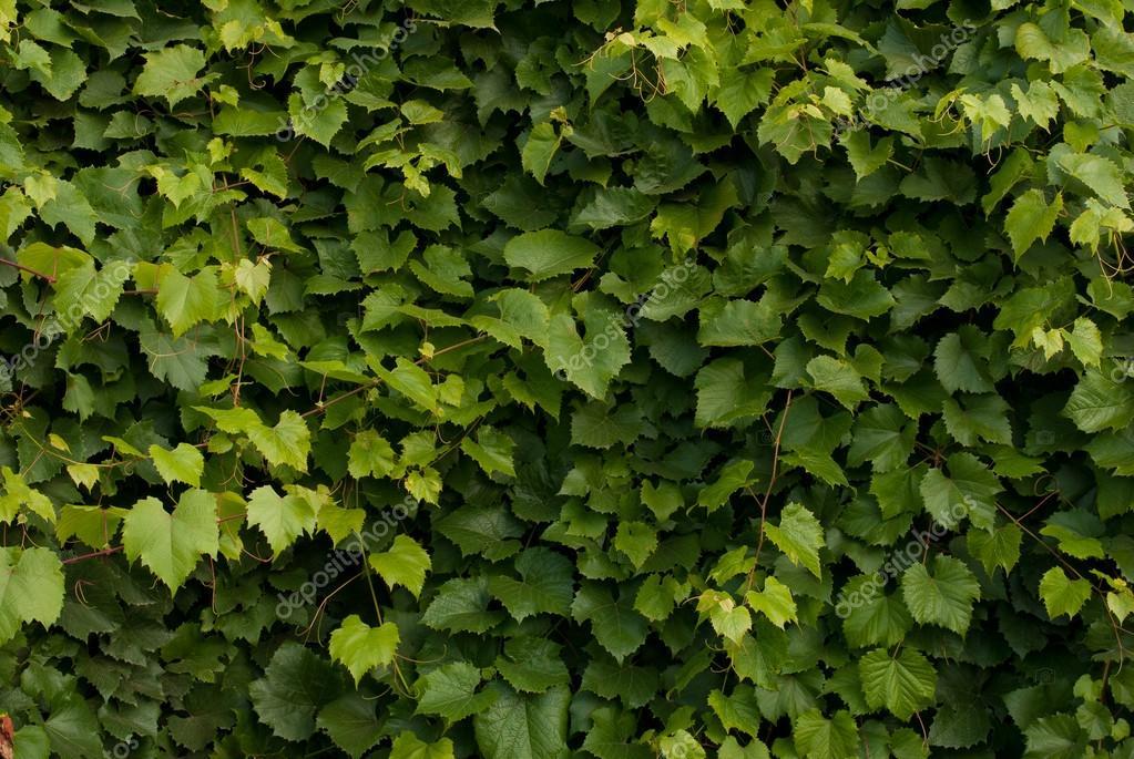 Grape Leaves Background Stock Photo Image By C Usankova312 54084031