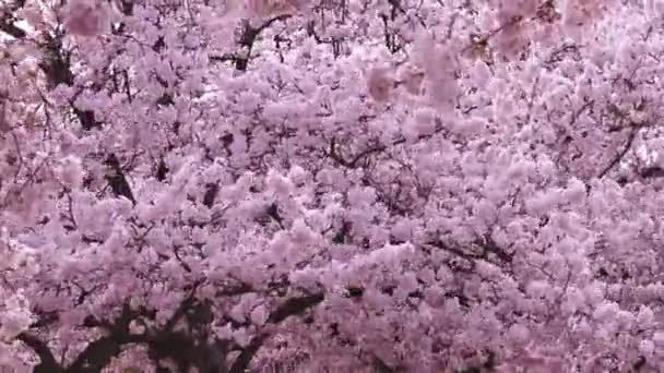 Stormy weather in spring with cherry trees in full blow shows breezes and windy cherry blossoms in slow motion as Japanese culture in public parks and idyllic scenery in a blooming garden landscape