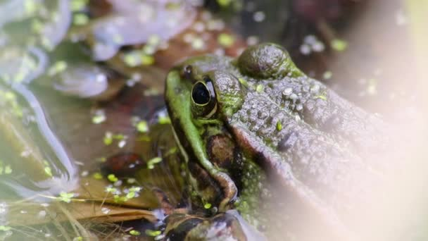 Calm big green toad or green frog at a pond warming up in sun as amphibian water animal in the wetlands with camouflage in biotope croaking in a lake or pond swimming as wild aquatic species