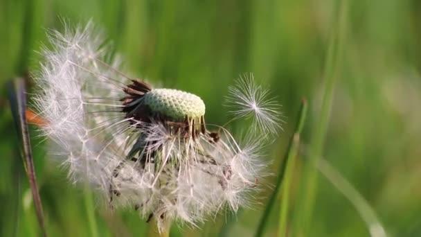 Löwenzahnsaat im Frühling an windigen Tagen als Nahaufnahme der Makroaufnahme zeigt die Zerbrechlichkeit flauschiger Samen im Frühling, um Allergien und allergische Reaktionen und eine schöne Kindheit mit Weichheit zu repräsentieren