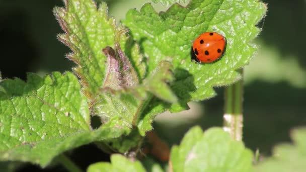 Roztomilý beruška s červenými křídly a černými tečkami zahřívá na slunci před lovem veš jako veš lovec a organické hubení škůdců pro milovníky zahrady a ekologické zemědělství jako prospěšný hmyz