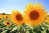 Provence - slunečnice