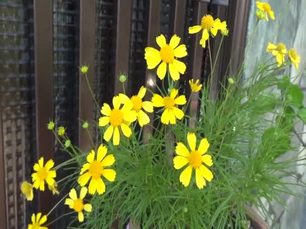 žluté sedmikrásky květin