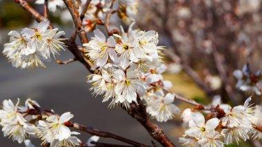 Cherry tree, white cherry blossoms in Nobeoka Miyazaki Japan