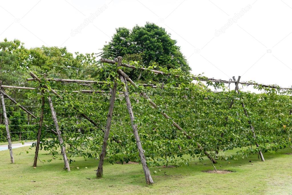 Fruta De La Pasion En Planta Foto De Stock C Bouybin 52297177