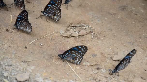 Motýl jíst lizy na zem