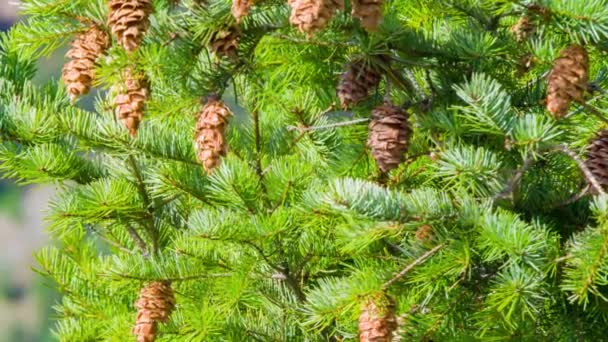 Pine branches with cones, waving at low wind on a clear day.