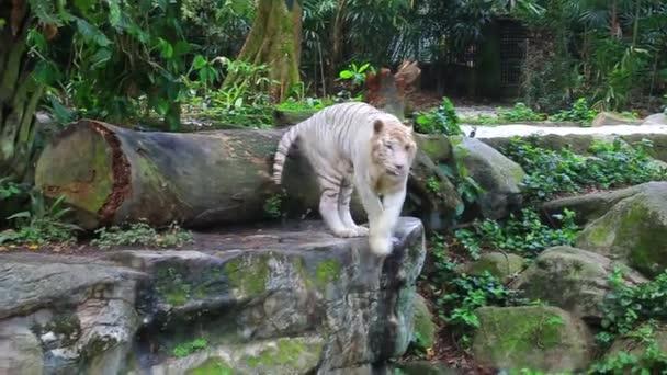 tigre bianca nel giardino zoologico