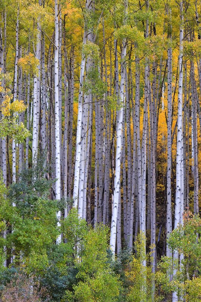 White aspen trees in autum