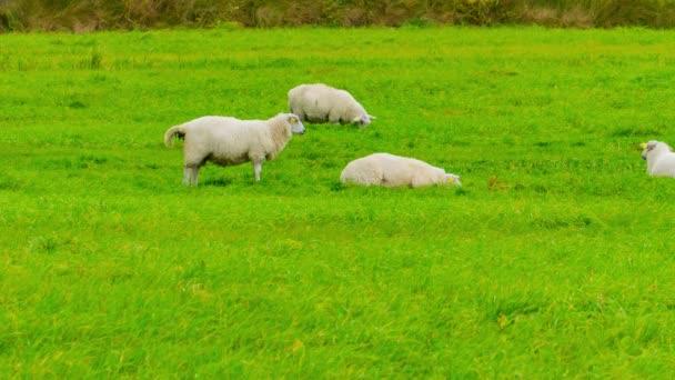 Schafe weiden auf einer grünen Wiese
