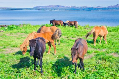 Icelandic Horses on a meadow near beautiful landscape of a famous tourist place - lake Myvatn in Iceland in the north