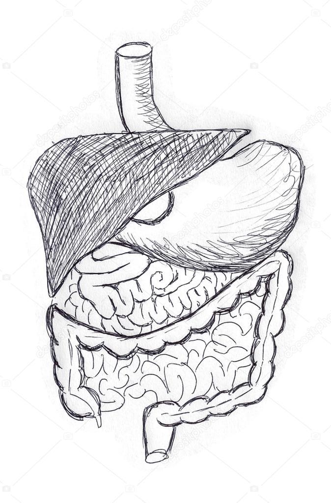 ilustração do sistema digestivo fotografias de stock vchalup2