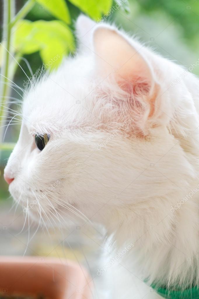 a94df9ae32 White Turkish angora cat closeup — Stock Photo © mariakarabella ...