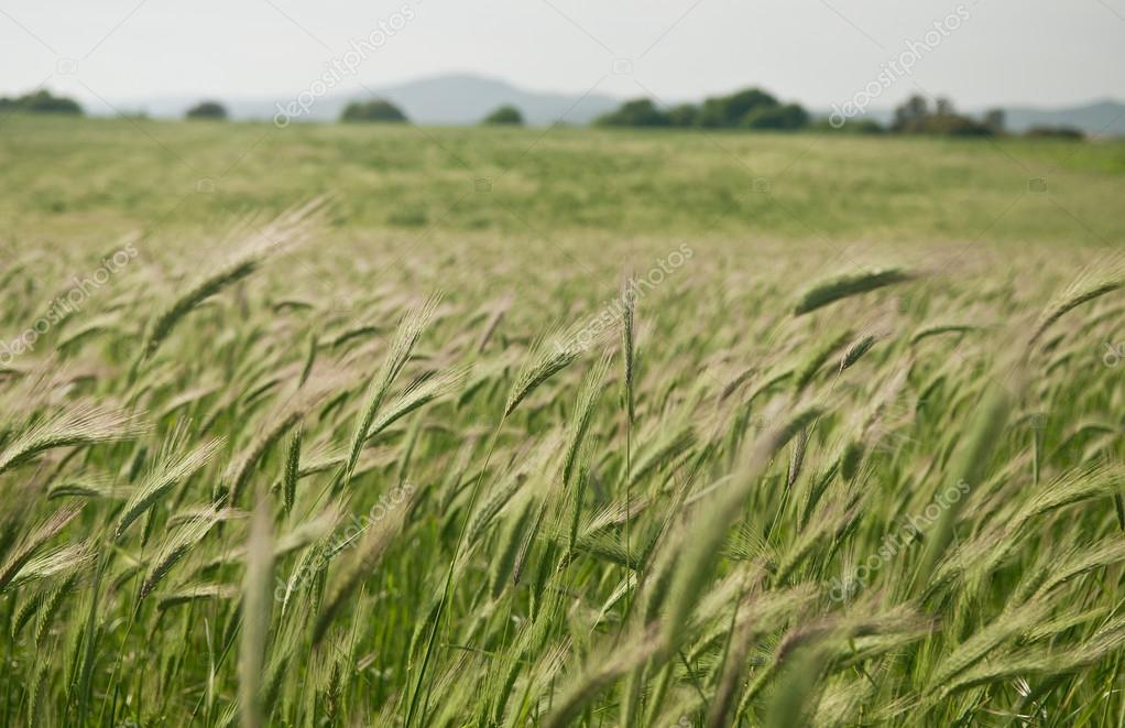 Green italian wheat field