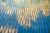 Rice fields with sky reflection