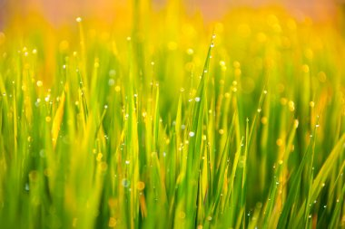 Grass-blades with drops of water
