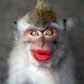 Fotografie Funny monkey with a red lips