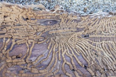 Tracks made by termites in cortex