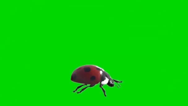 Katicabogár mászás a zöld képernyőn