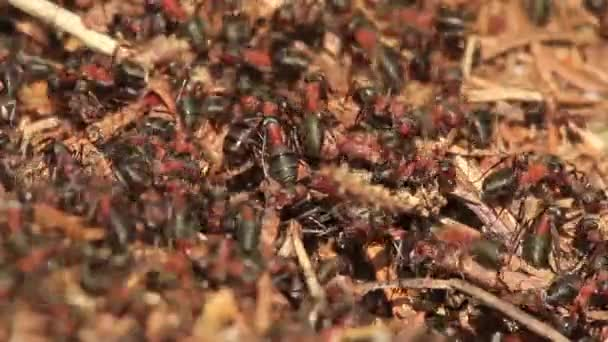 Close up of Red forest ants on an anthill