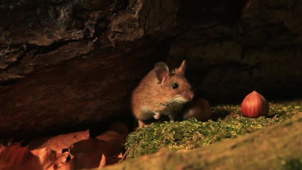European Wood mouse in a forest at night