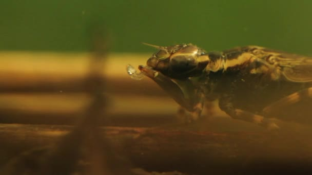 Close up of a dragonfly larva hunting
