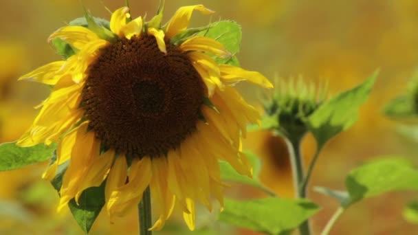 Detail květu kvetoucí slunečnice