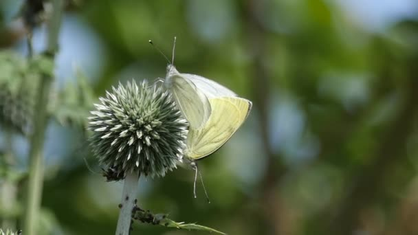 Slow motion of a couple of Small Whites mating on a thistle