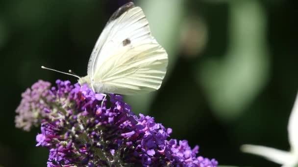 Zpomalený pohyb zelí motýl krmení na motýlí keř