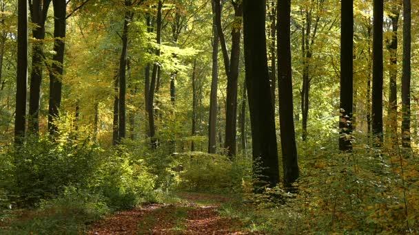 Bukového lesa na podzim s padající listí v pomalém pohybu