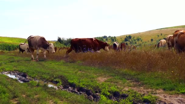 Herd of cows grazing in the meadow.Industrial grazing farm animals.