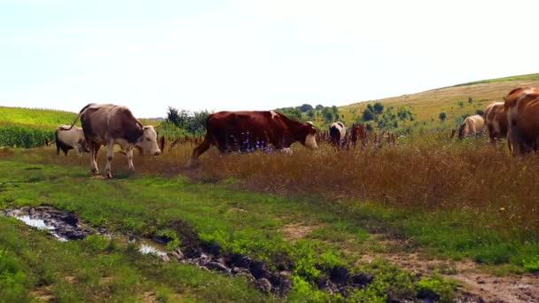 Stádo krav pasoucích se na louce. Průmyslové pastvy hospodářských zvířat