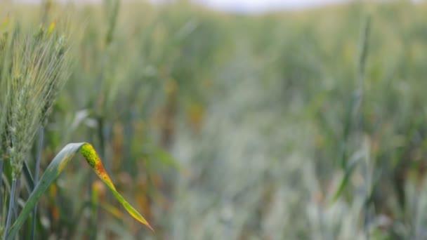 Pšeničné pole v procesu zrání. Zelený pšeničné pole za slunečného dne