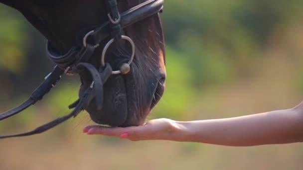 Krmení koní s rukama. Tlamy koně zblízka. Portrét closeup nos koně.