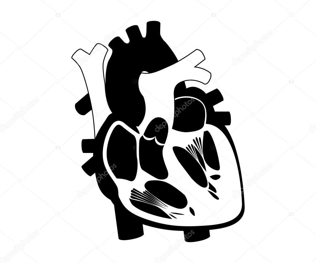 definición y función de silueta de corazón humano — Archivo Imágenes ...