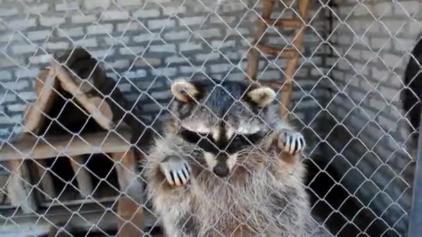 raccoons and people communicating through protective net at zoo