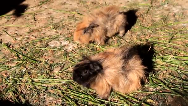Morčata jíst trávu