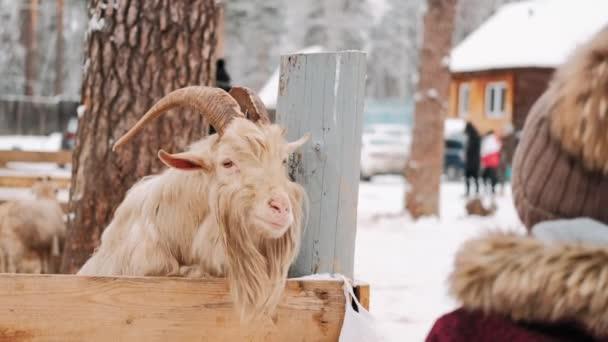V zimě koza v ohradě. Kozel se podívá do kamery. Farma. Koza na farmě. Detailní záběr. Koza se rozhlédne.