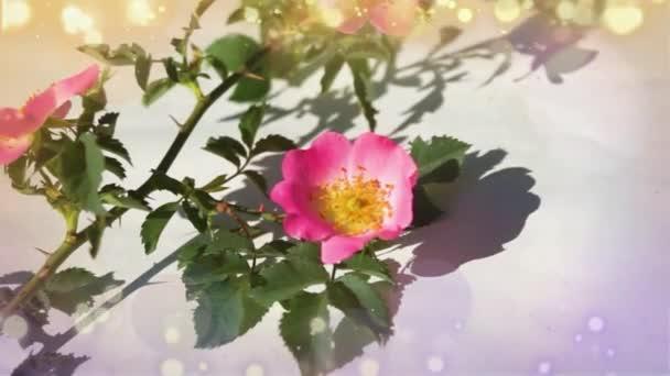 Rózsaszín csipkebogyó (kutya rózsa) virág közelkép fehér háttér