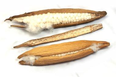 Two seed kapok