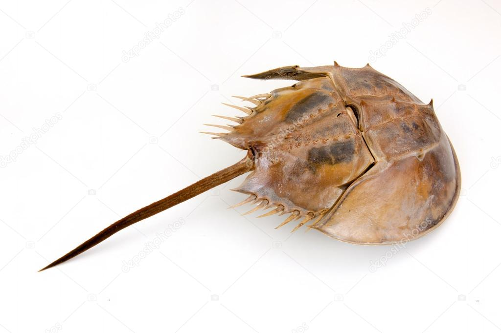 Horseshoe Crab on isolated