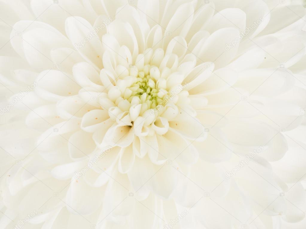 schöne weiße Dahlie Blütenmitte — Stockfoto © andreevaee #112102200