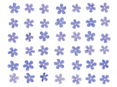 patern of blue forget-me