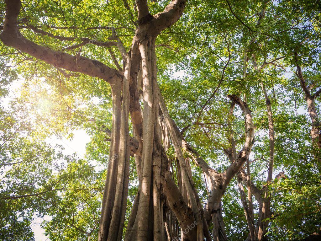 Big Banyan tree in Thailand
