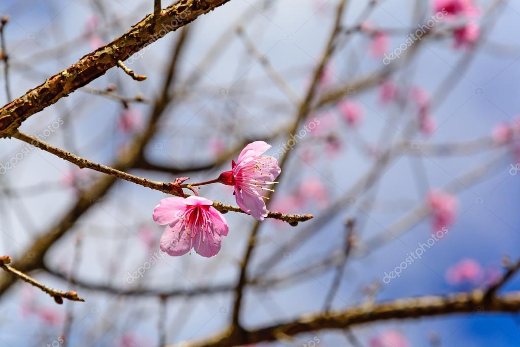 Cherry blossom or sakura flowers with blue sky