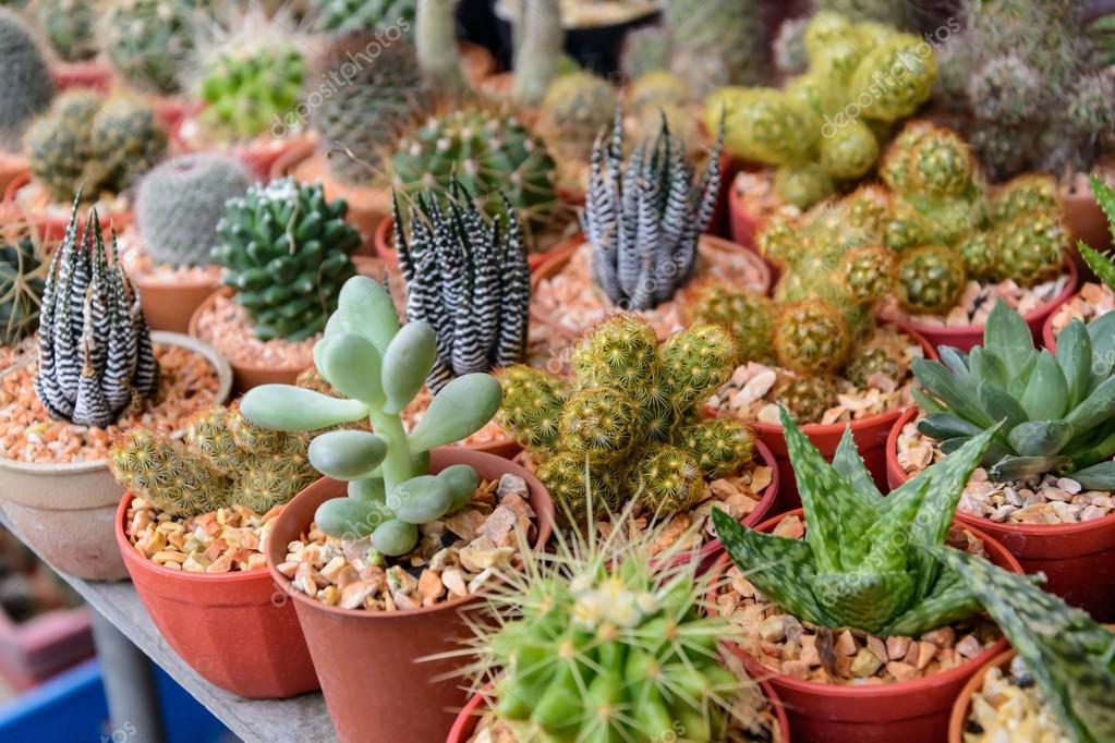 V rios tipos de cactos e plantas pequenas fotografias de for Suculentas santiago